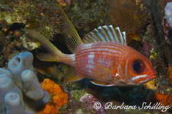 A squirrelfish showing his best side by Barbara Schilling 